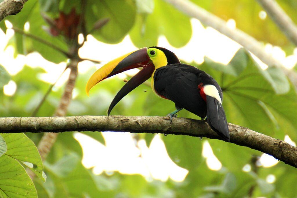 toucan, brown back-toucan, costa rica